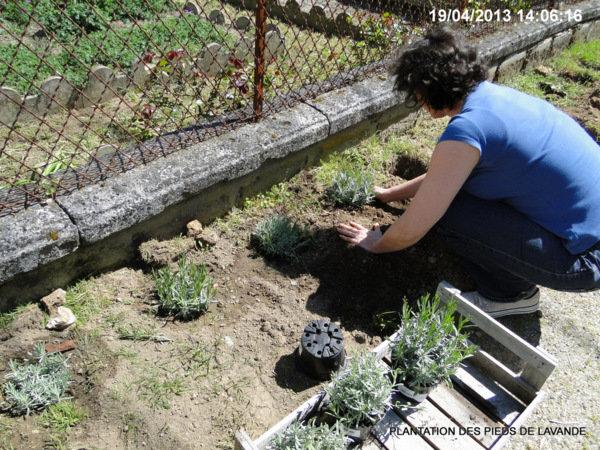Lavande lavandula - Quand planter la lavande ...