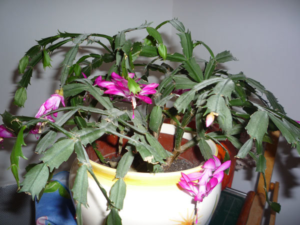 cactus de no l epiphyllum schlumbergera. Black Bedroom Furniture Sets. Home Design Ideas