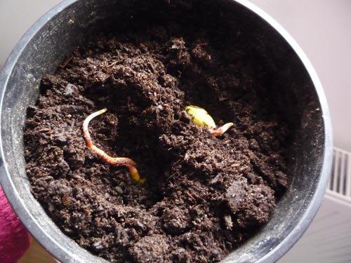 planter un noyau de mangue