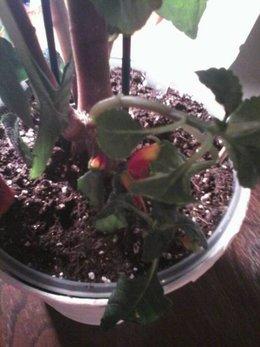 Impatiens de nouvelle guin e page 4 forum jardinage - Impatiens de guinee l hiver ...