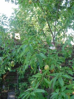 Traitement pr ventif cloque du p cher page 3 forum jardinage - Cloque du pecher traitement naturel ...