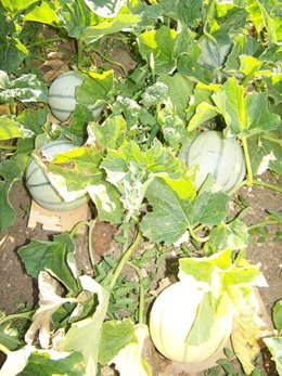 La culture du melon page 4 forum jardinage - Culture du melon en serre ...