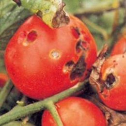 Maladie de la tomate forum jardinage - Maladie poireau mouche mineuse ...