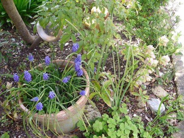 Planter les bulbes de printemps la bonne profondeur - Faire pousser des endives dans l eau ...