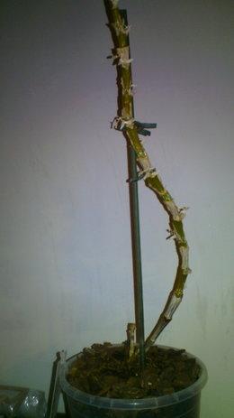 Aide pour mon orchid e dendrobium forum jardinage - Mon olivier perd ses feuilles ...