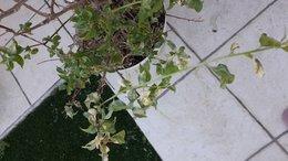 Sos bougainvillier forum jardinage - Comment tailler un bougainvillier ...