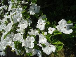 Avez-vous un Cornus White Wonder dans votre jardin...