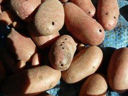 Pommes de terre trouées