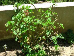 Comment tailler ces g raniums forum jardinage for Comment arroser les geraniums