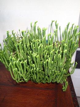 Plante grasse ?