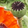 La naissance d'une fleur de pavot