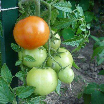 Que planter en juillet ordinary que planter en juillet abeliaxjpg recolte du latex dans une - Que semer en octobre ...