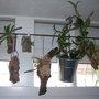 Racines aériennes et orchidées épiphytes