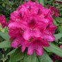 Bouturer le rhododendron