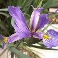 Division des iris