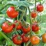 Naissance d'une tomate