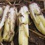 La culture de l'endive (chicorée ou chicon) : du semis à la récolte