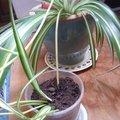 Marcottage d'un chlorophytum