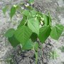 Légumes : temps des levées des semis et temps nécessaire avant les récoltes