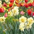 Plantation de bulbes de narcisse 'Rip Van Winkle'