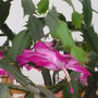 Bouturer le cactus de Noël