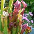 Faire une tourbière de plantes carnivores