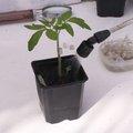 Greffer des plants de tomates