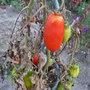 Les maladies de la tomate