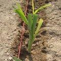 Plantation de poireaux