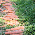 Les maladies de la carotte