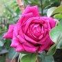 Rose 'Restos du coeur'