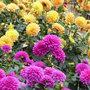 Fleurs de dahlia : vaste choix de formes