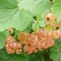 Plantation d'arbustes à petits fruits