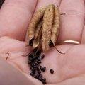 La récolte de graines de fleurs au jardin