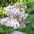 Tailler les arbustes à floraison printanière