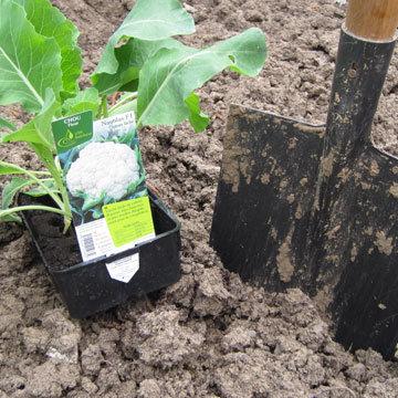 Planter les choux-fleurs