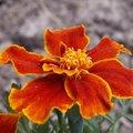 Quelles fleurs semer en mars au jardin ?