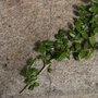 Quels arbustes ou plantes bouturer en juillet-août ?