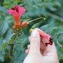 Fleurs fanées de la bignone