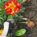 Fleurs fanées d'oeillet d'inde