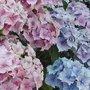 Arbustes fleurs quand les tailler - Quand couper les fleurs fanees des hortensias ...