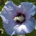Taille des hibiscus syriacus - althéa