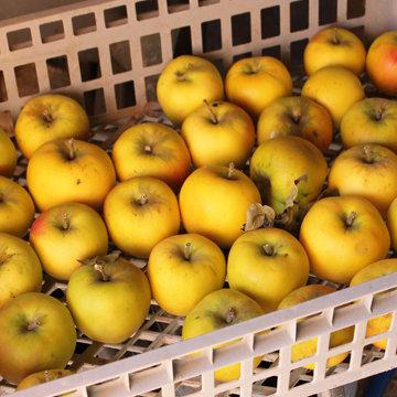 Comment conserver les pommes tout l 39 hiver - Comment conserver des pommes coupees ...