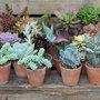 Angelina et les plantes succulentes