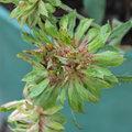 Une rose verte