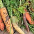 Les légumes racines
