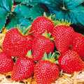 Semer les fraisiers