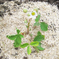 Plantation d'un pied de fraisier