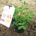 Plantation d'un pied de cacahuètes