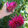 Fleurs fanées de dahlias